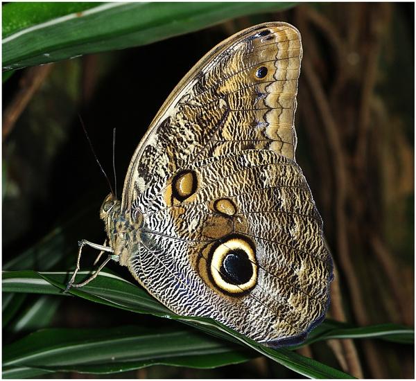 Owl Butterfly by johnriley1uk