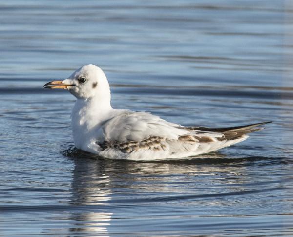 gull by madbob