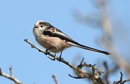 Long Tailed Tit by Glostopcat