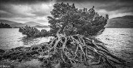 Tree roots Derwentwater