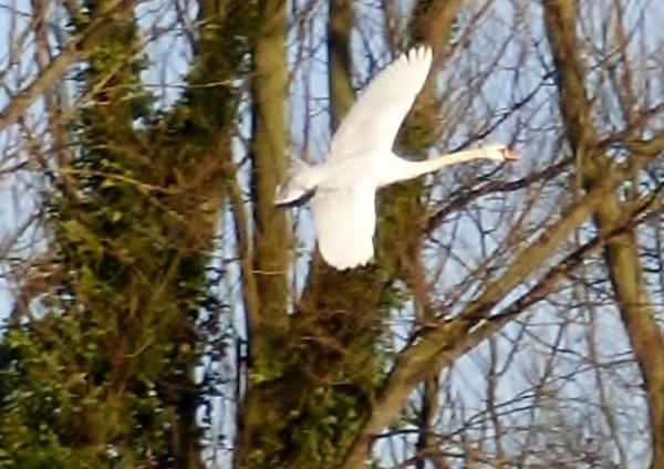Swan 3 by ELLISON58