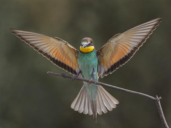 European Bee-eater by Jamie_MacArthur