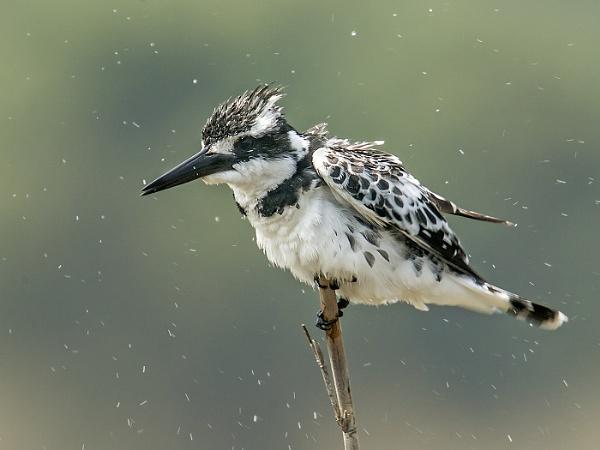 Pied Kingfisher by Jamie_MacArthur