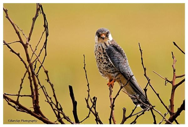 Female Amur Falcon by fatfranksfolley