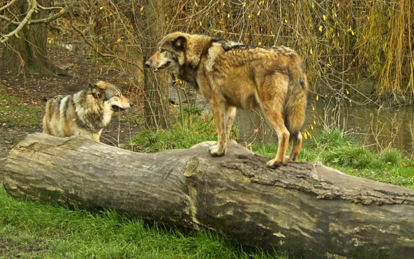 European Wolves-Canis lupus lupus. by bobpaige1
