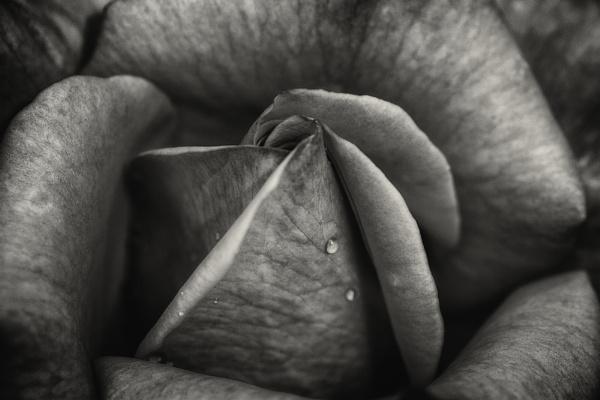 B&W Rose by deborahmoynihan