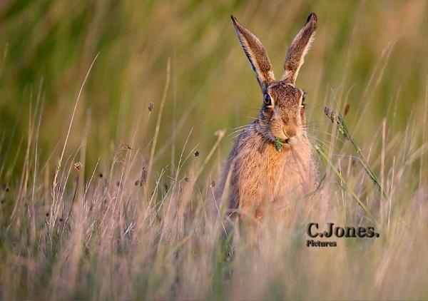 Hare by cjones