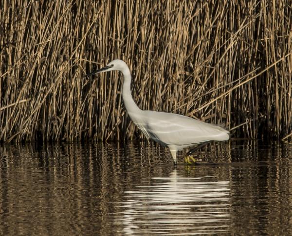 egret by madbob