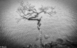 Crooked Tree Derwent Water