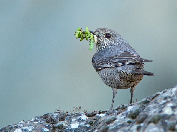 A bit of a mouthful - Female Blue Rock Thrush by Jamie_MacArthur