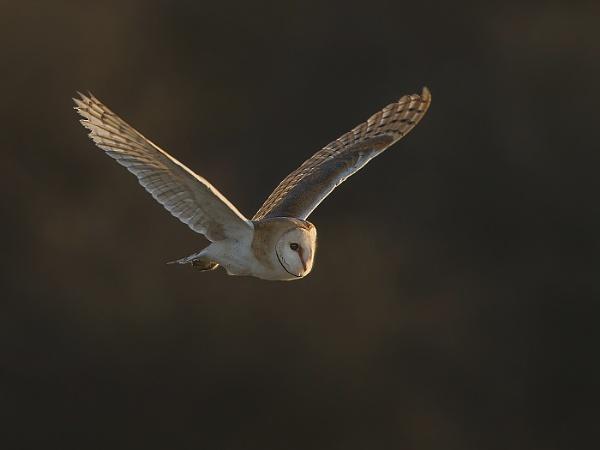 Barn Owl in flight by Jamie_MacArthur
