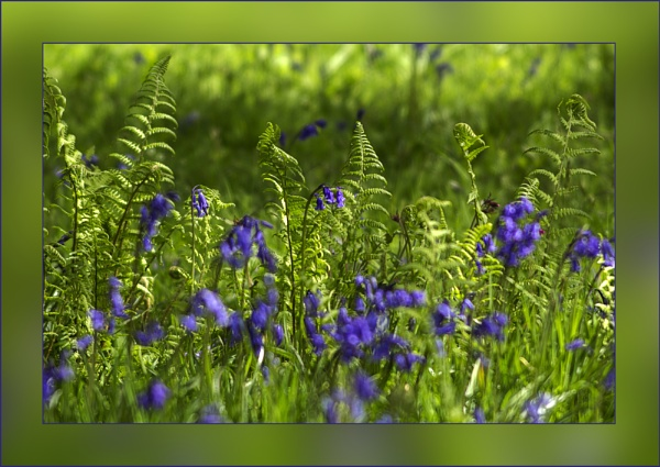 Bluebells & Ferns by Irishkate