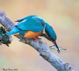 Kingfisher....