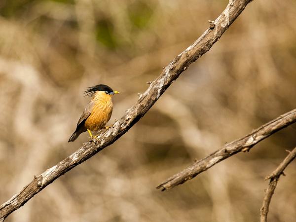 Brahminy Starling by alansnap