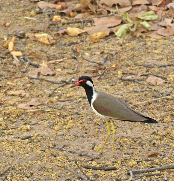 Red-Wattled Lapwing in India by JuBarney
