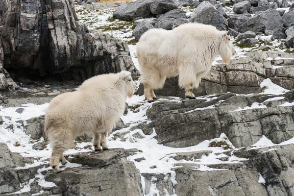 Mountain Goats by StrayCat