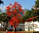 Illawarra Flame Tree [ Brachtchiton Acerifolius ] by Hermanus