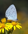 Holly Blue by mattberry