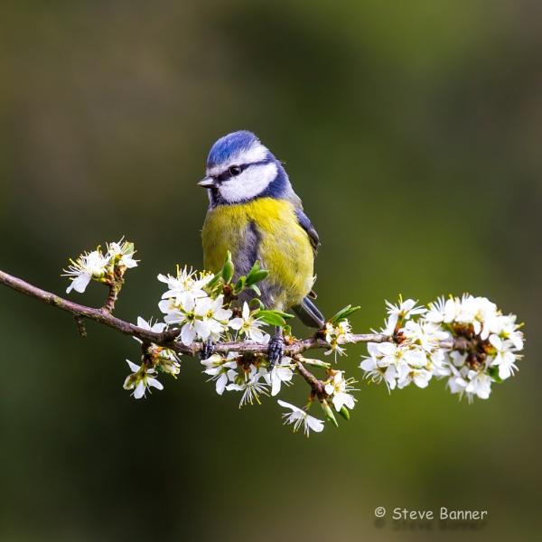 Blossom by Stevetheroofer