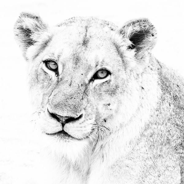 Lioness portrait by NathalieM