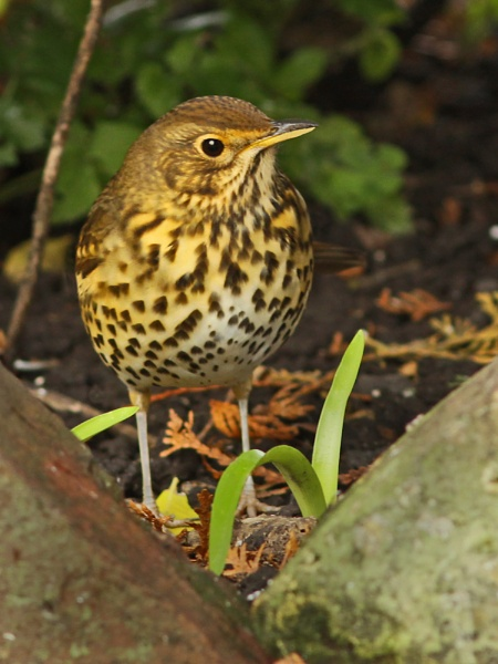 Song Thrush--Turdus philomelos. by bobpaige1