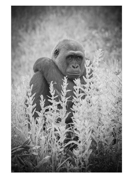 Gorilla No Mist by anthonyjwhelan