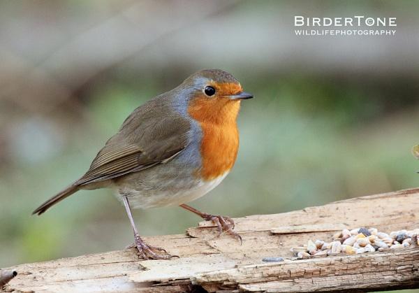 Robin - Jan 2016 by BirderTone