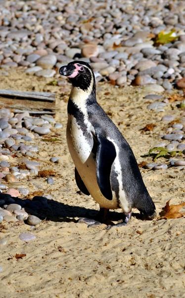 Penguin by HelenMarie