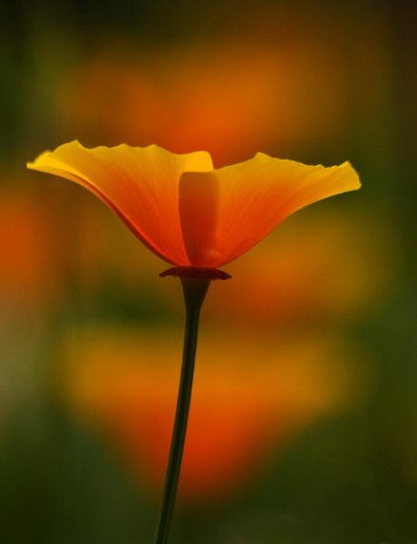 Cafornian Poppy by viscostatic
