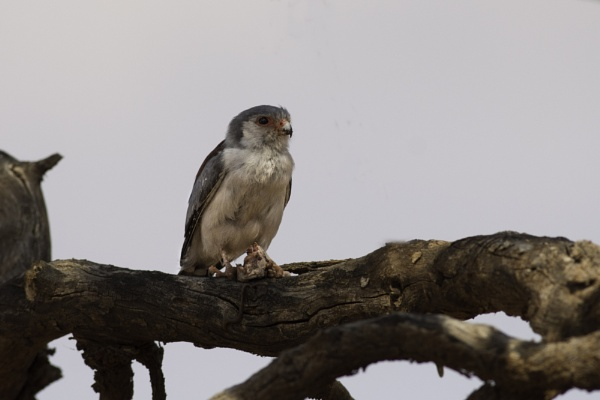 Pygmy falcon by Hazelmouse