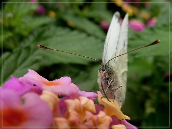 nectaring large white on lantana by CarolG