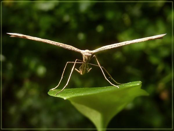plume moth by CarolG