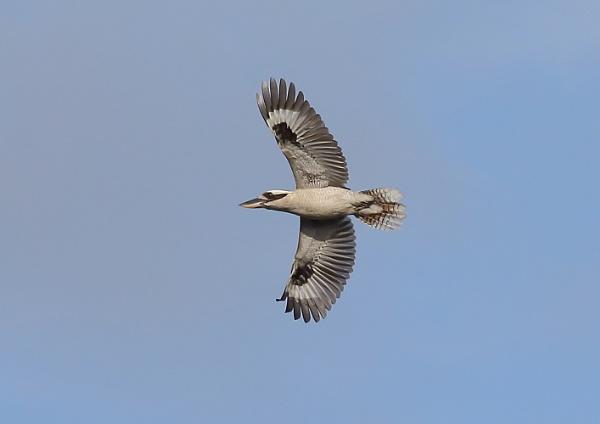 Kookaburra in Flight by NeilSchofield