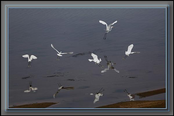 Great Egret by prabhusinha
