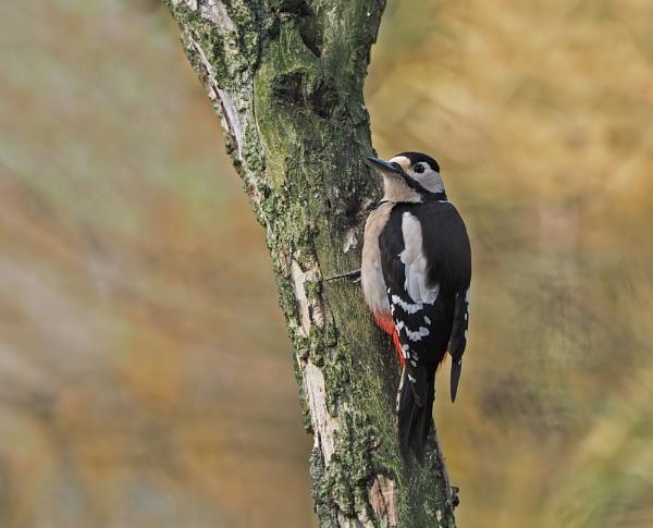 Woodpecker by jack33