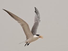 Lesser-crested tern