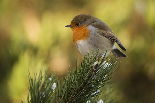 Robin by POD