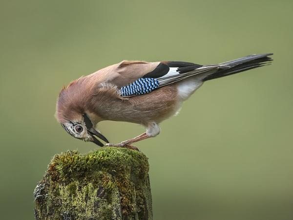 A Jay eating a peanut by Jamie_MacArthur