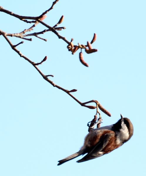 Chickadee Dangle by tonyguitar