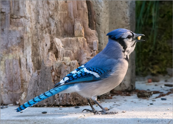 Blue Jay by taggart