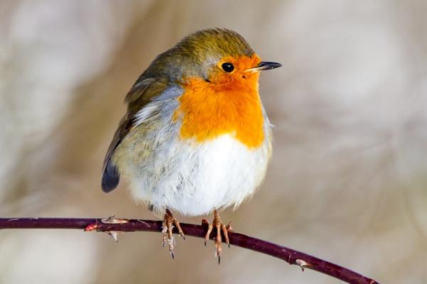 Winter Robin by Bill_C