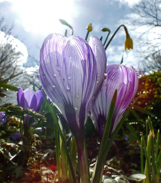 Crocus by Chas05