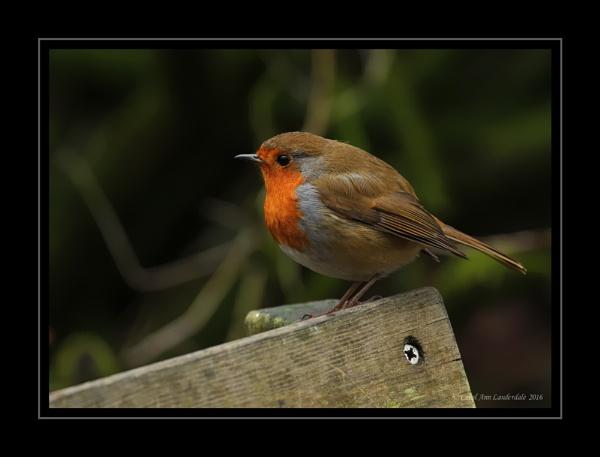 Robin by CarolAnnLauderdale
