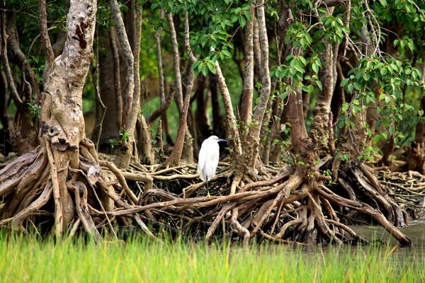 Snowy egret by rajibcee1