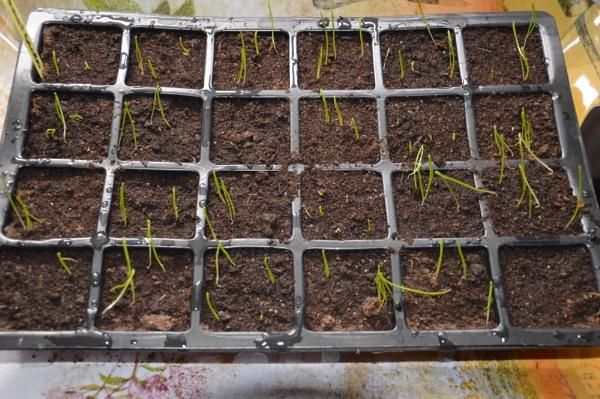 onion seedlings by graceland