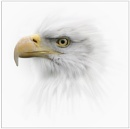 Eagle by clintnewsham
