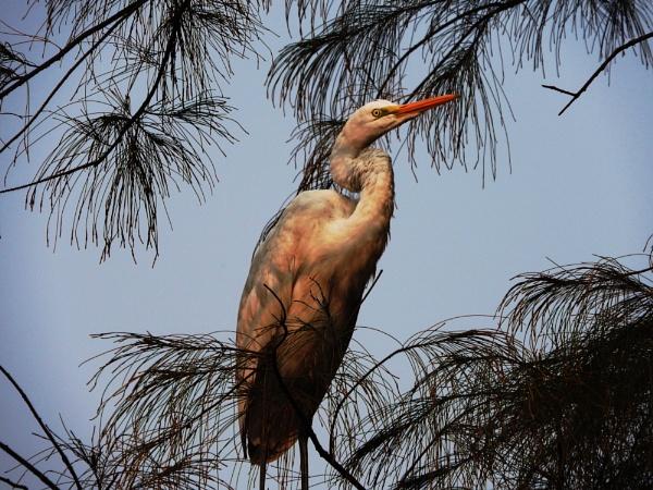 Pond Heron by gautamc