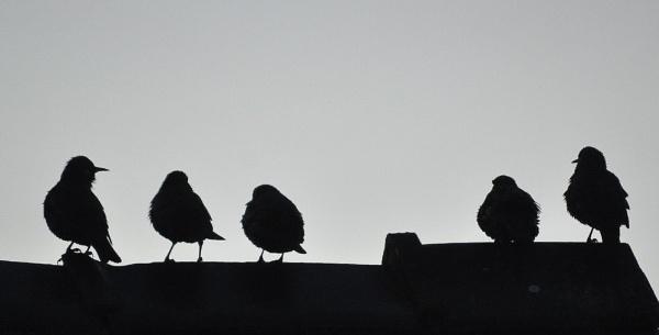 Starlings 5 by HelenMarie