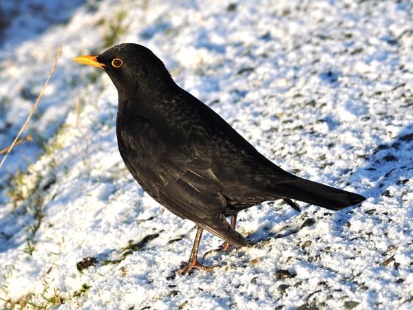 Blackbird by HelenMarie