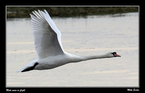 Mute swan in flight by oldgreyheron